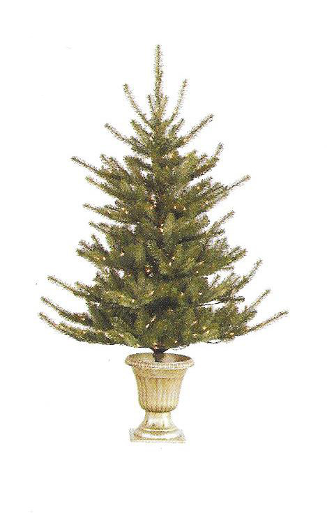 Colorado Spruce - small potted