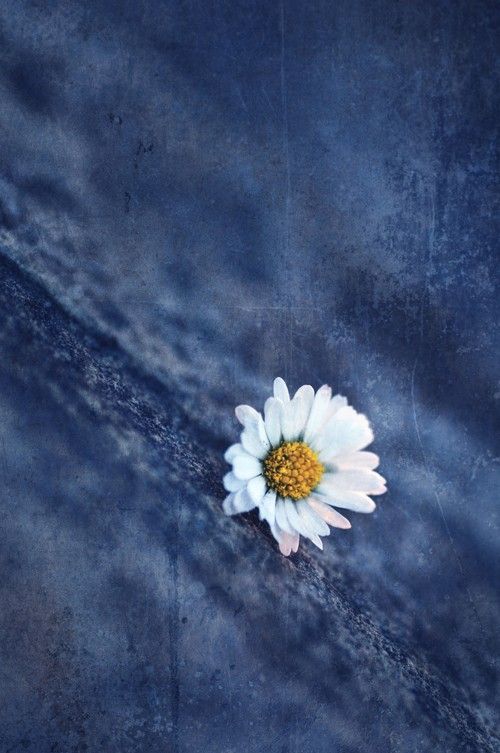 Denim Daisy