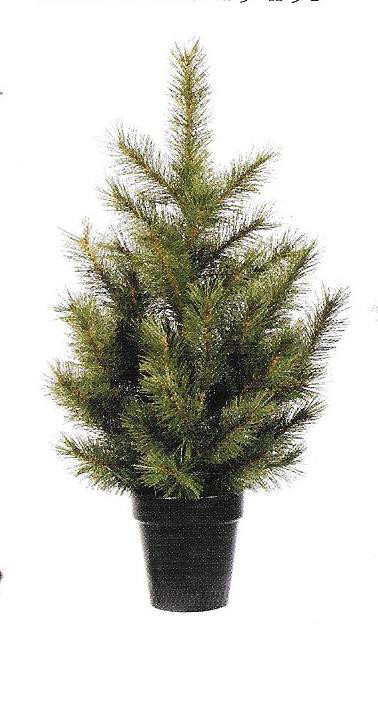 Cayote Pine - small potted tree