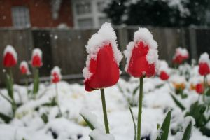 Have snow cap tulips in your backyard? :) Winter's last hurrah.
