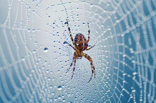Dewy Spider