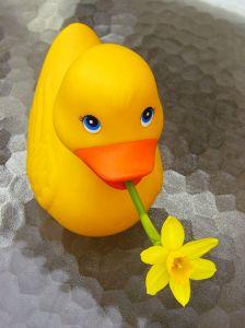 Daffi Duck ® - from http://www.sxc.hu/profile/dogmadic