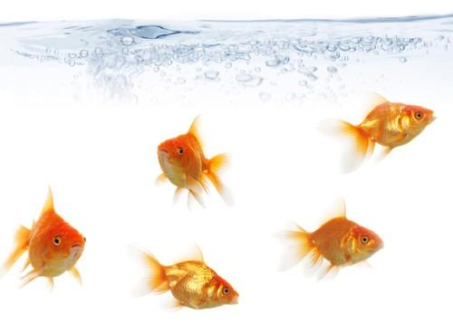 Frisky Goldfish